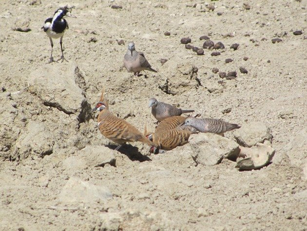 magpie-larkpeaceful-doves-spinifex-pigeons-2