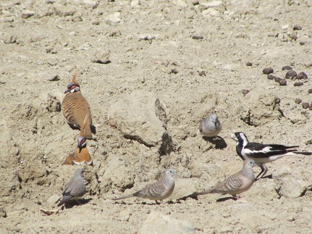 magpie-larkpeaceful-dovesdiamond-dove-spinifex-pigeons-2