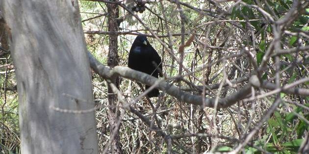 Satin Bowerbirds and their bowers