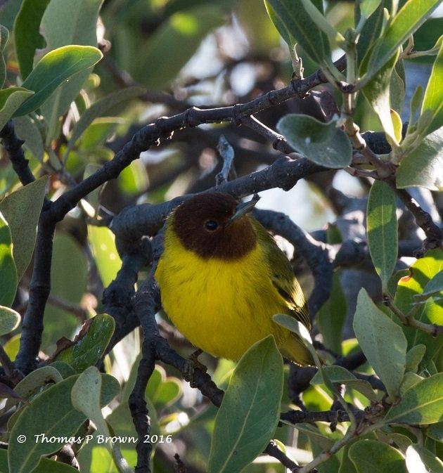 mangrove-warbler