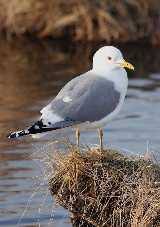 Mew Gull Breeding Plumage