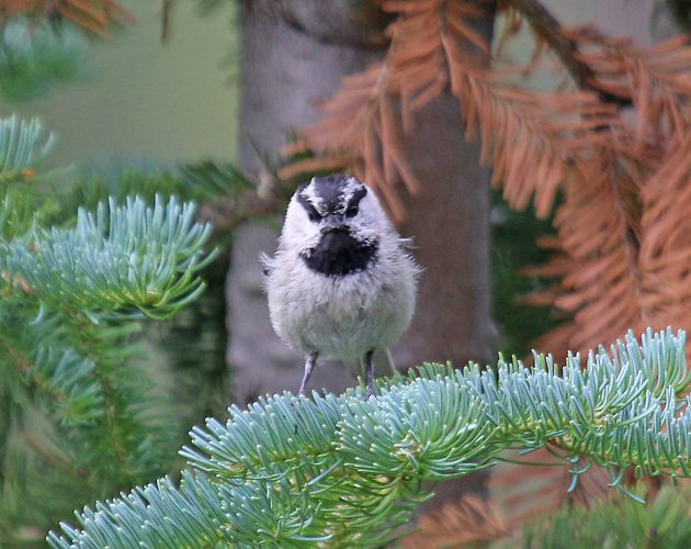 Mountain Chickadee looking angry