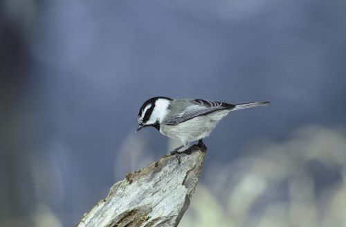 Mountain chickadee on branch