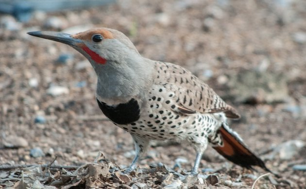 Northern Flicker Male