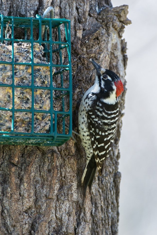 Nuttall's Woodpecker Male