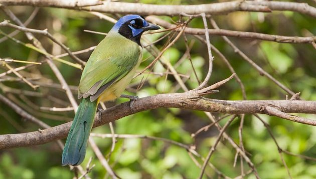 Green Jay by USFWS -- Auto-pilot Conservation in the Era of Trump