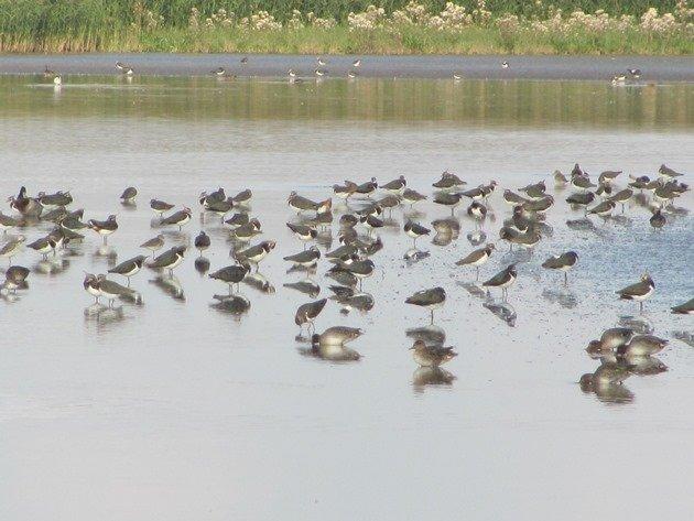 northern-lapwings-eurasian-teal