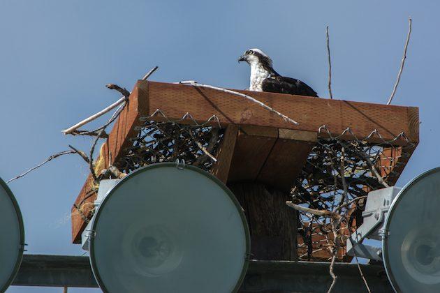 Osprey in Nesting Platform
