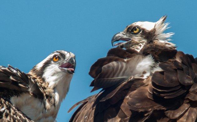 Osprey Adult and Juvenile