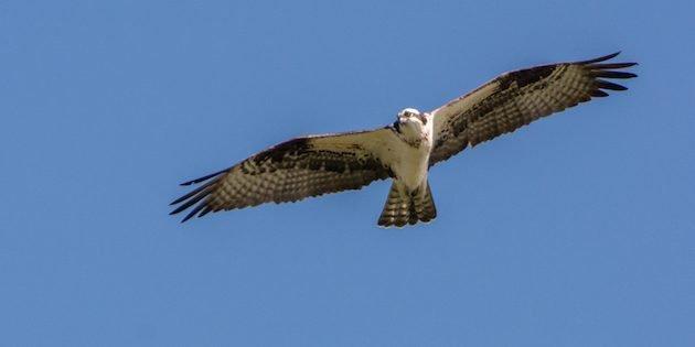 Osprey Nesting Platform Installation
