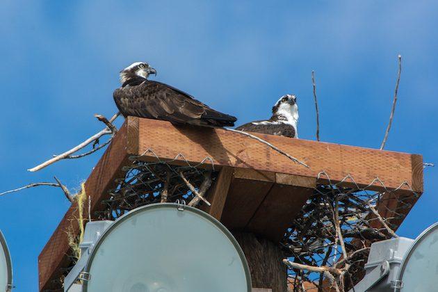 Osprey in New Platform