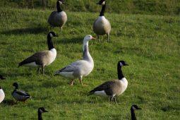 Weird Geese
