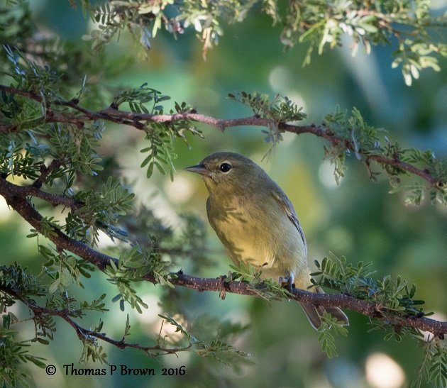 orange-crowned-warbler-1