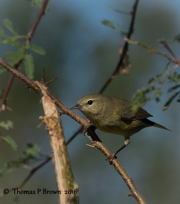 orange-crowned-warbler-4
