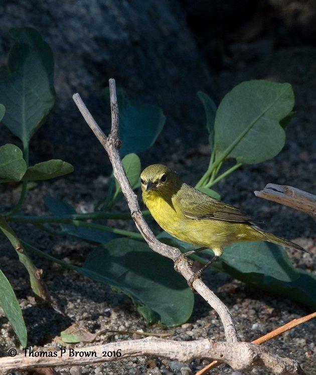 orange-crowned-warbler-6