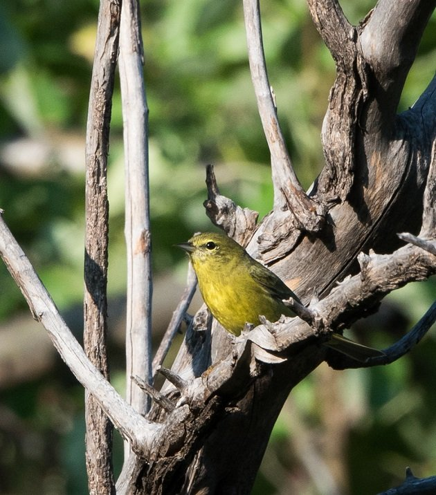 orange-crowned-warbler-8