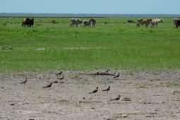 Locusts and Oriental Pratincoles around Broome