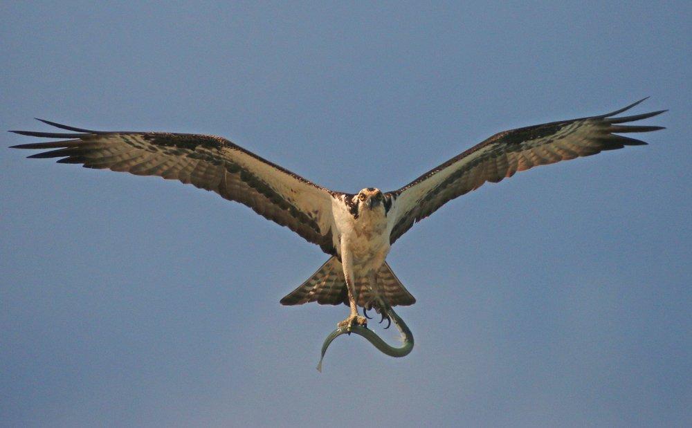 Hungry Osprey In North Carolina 10 000 Birds