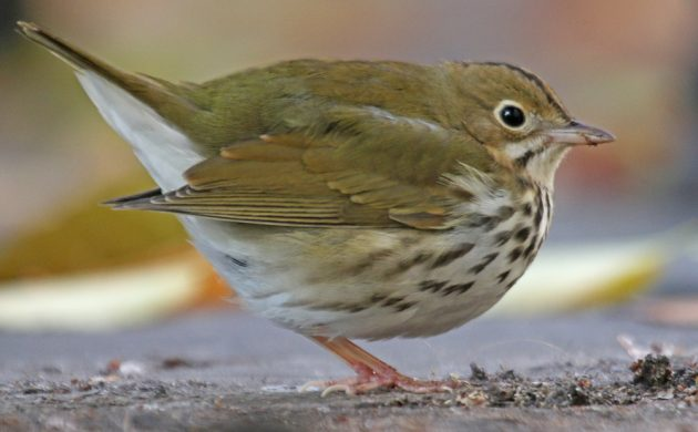 ovenbird-at-city-hall-park