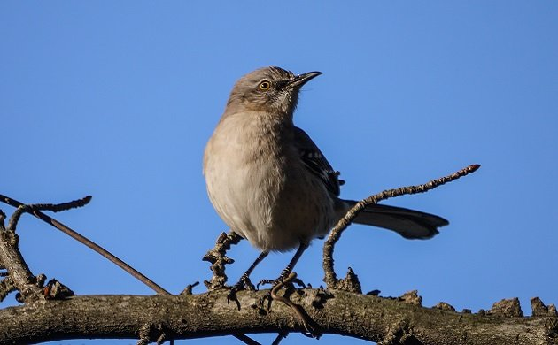 mockingbird, bird, state bird, florida