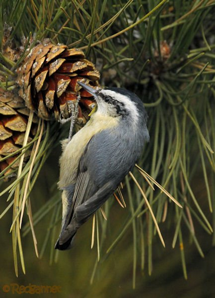 pek-09nov16-snowy-browed-nuthatch-05