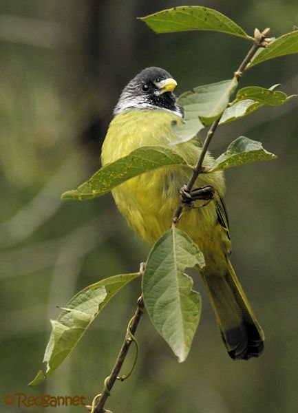 pek-10nov16-collared-finchbill-06