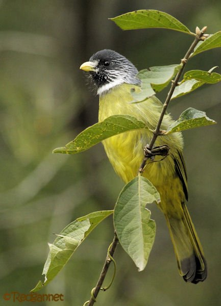pek-10nov16-collared-finchbill-07
