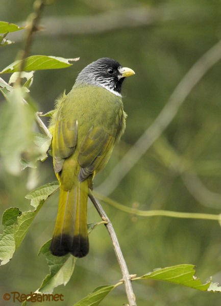 pek-10nov16-collared-finchbill-09