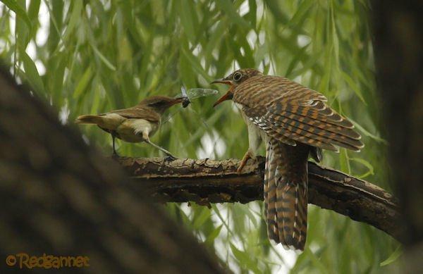 Picky Cuckoo
