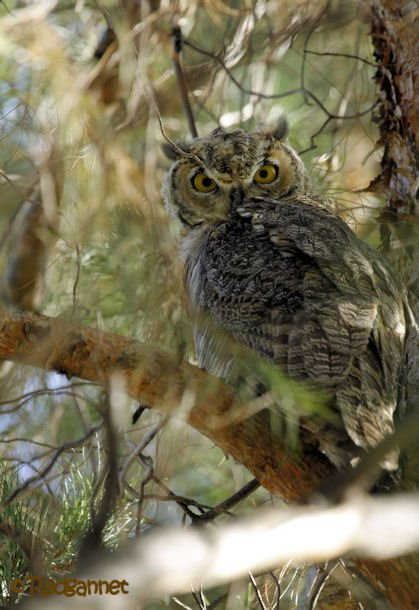 PHX 17Jul16 Great Horned Owl 02