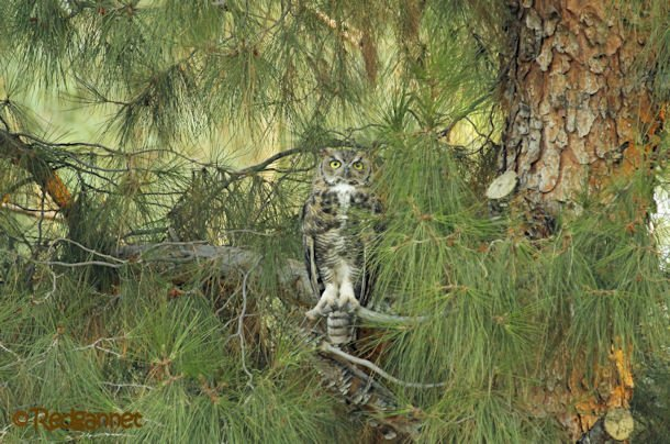 PHX 17Jul16 Great Horned Owl 04
