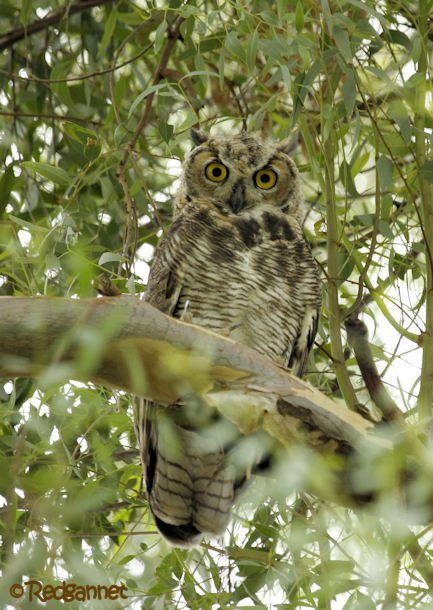 PHX 18Jul16 Great Horned Owl 06