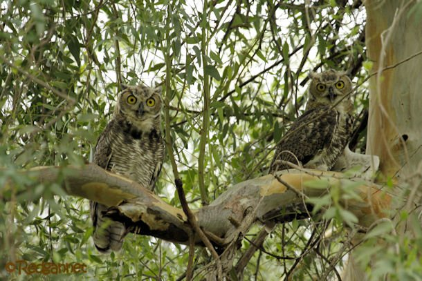 PHX 18Jul16 Great Horned Owl 07