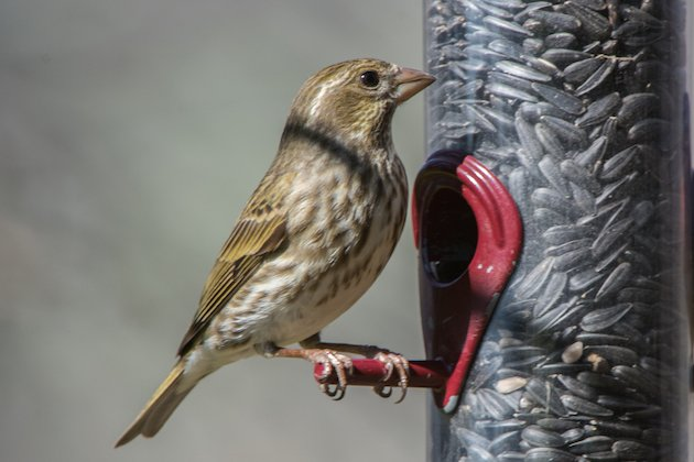 Purple Finch Female