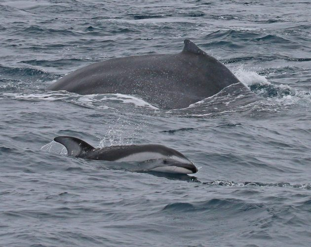 Pacific White-sided Dolphin and Fin Whale