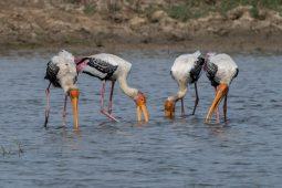 Birding in the Delhi area Part 2