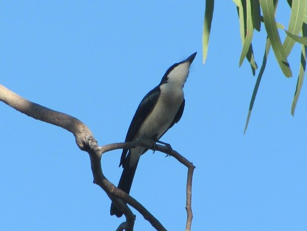 Paperbark Flycatcher (3)