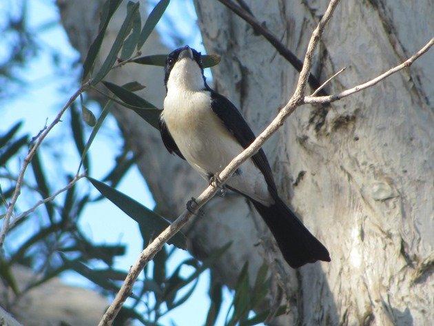 Paperbark Flycatcher (4)
