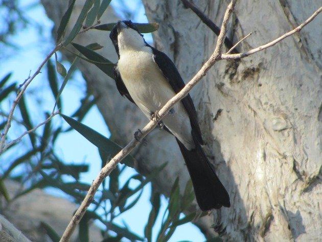 Paperbark Flycatcher (5)