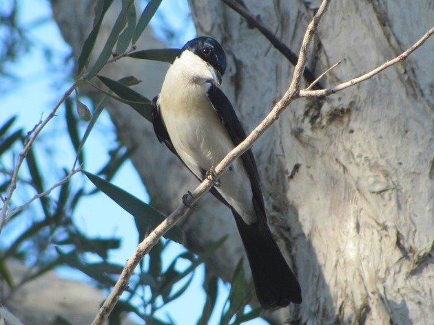 Paperbark Flycatcher (6)