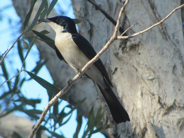Paperbark Flycatcher (7)