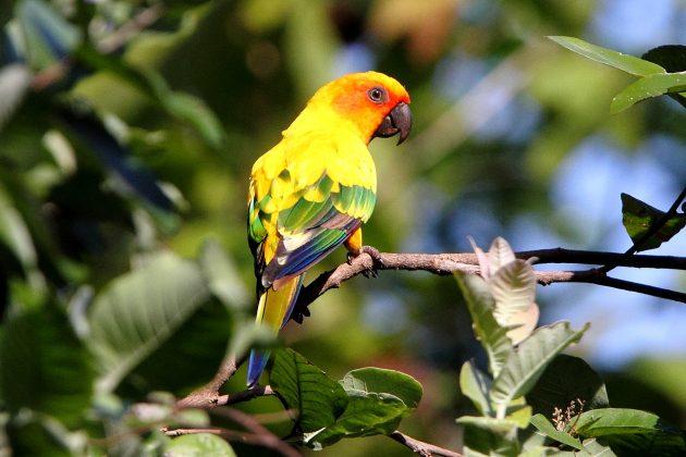 Солнечный попугай