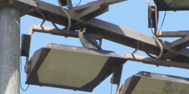 Peregrine Falcon in Broome