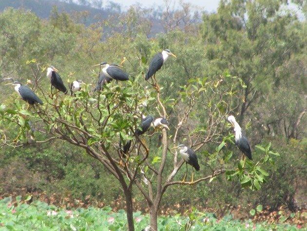 pied-herons