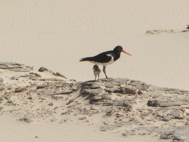 Pied Oystercatcher and chick (2)