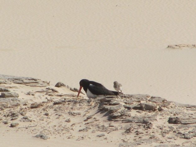 Pied Oystercatcher and chick (3)