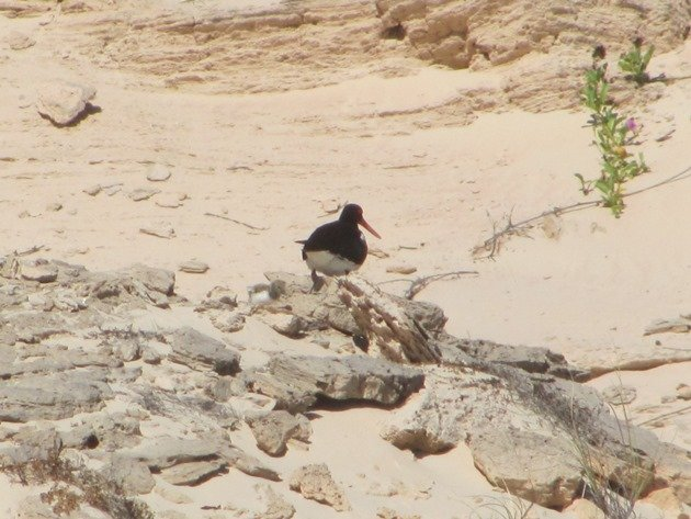 Pied Oystercatcher and chick (4)