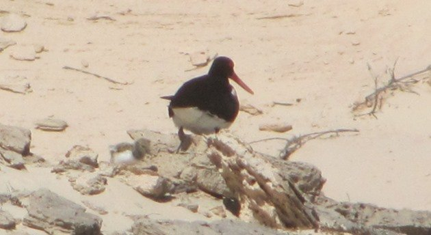 Pied Oystercatcher and chick (5)