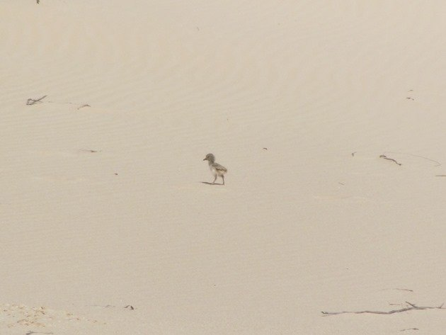 Pied Oystercatcher chick