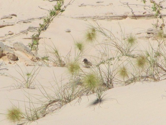 Pied Oystercatcher chick (2)